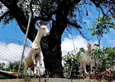 Curious-goats